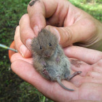 picture of field vole in hand